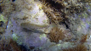 Ghiozzo - Gobiidae