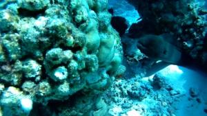 Murena Gigante - Gymnothorax javanicus