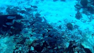 Azzannatore gobbo delle Maldive