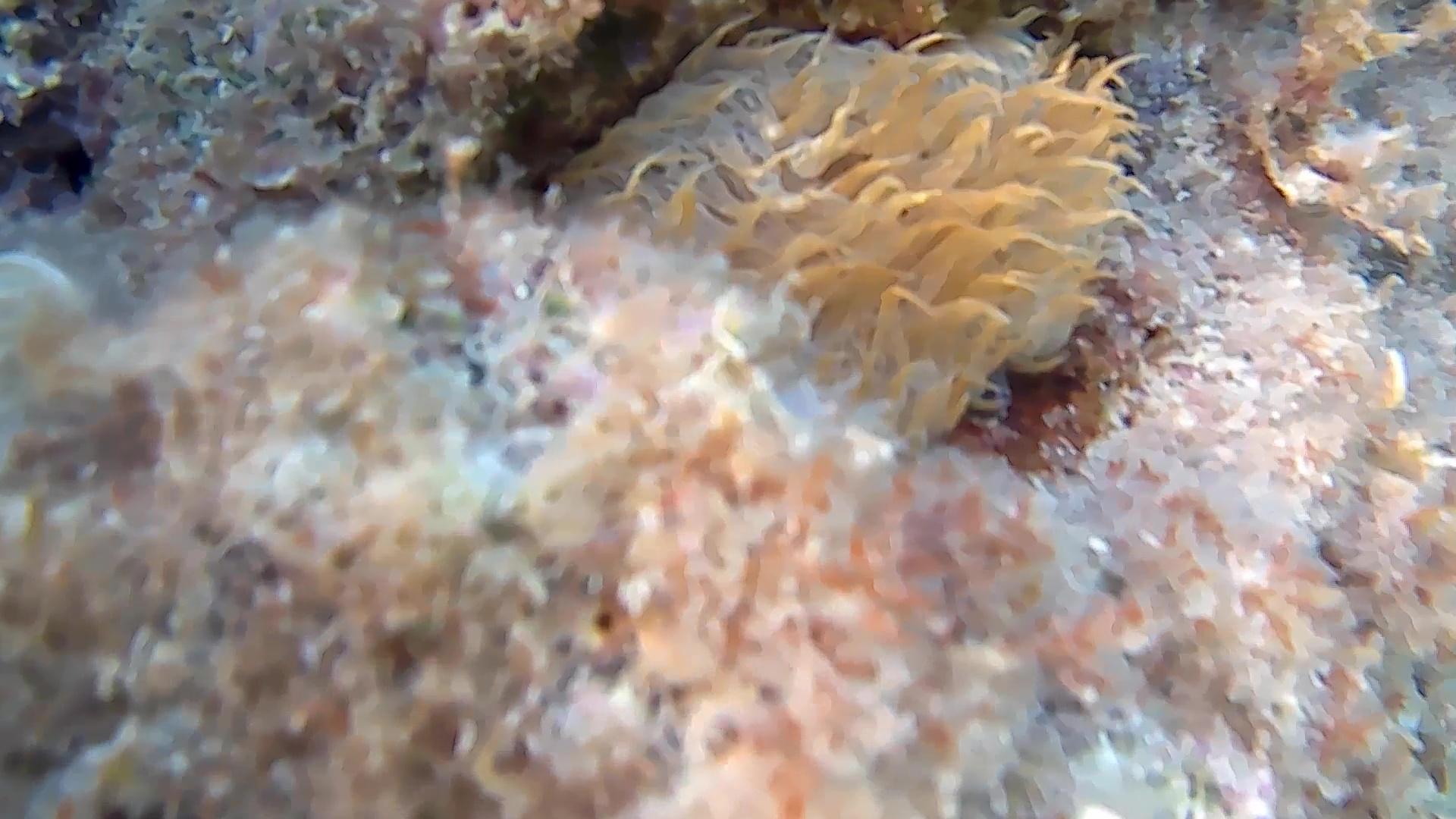 attinia anemone bruno - aiptasia mutabilis - intotheblue.it