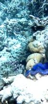 Maxima Clam - Tridacna Maxima - Intotheblue.it