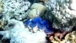 Maxima clam - Tridacna maxima