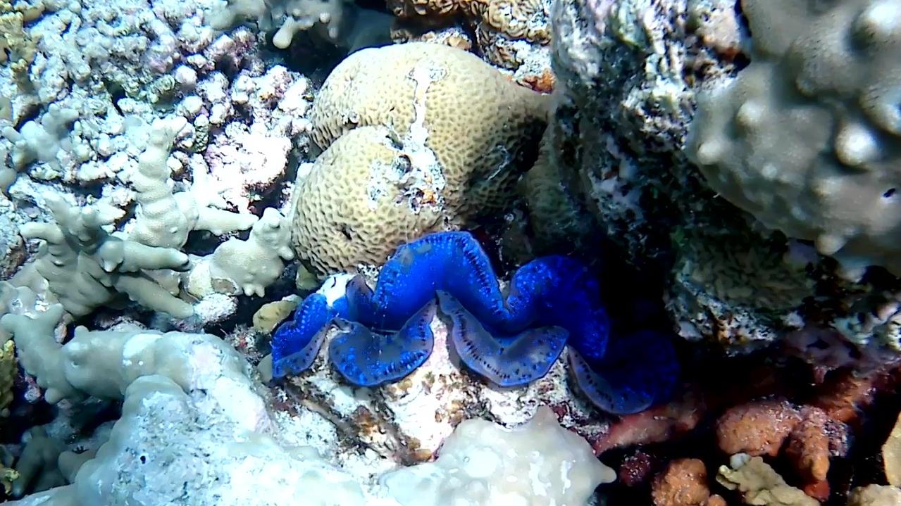 Tridacna maxima bivalve gigante famiglia Tridacnidae intotheblue.it