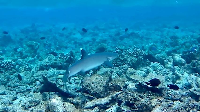 Squalo Pinna Bianca del reef