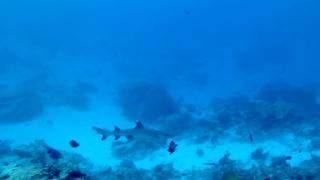 Squalo pinna bianca del reef - Triaenodon obesus