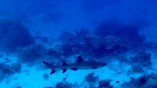 The Whitetip reef Shark