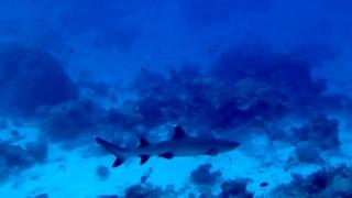LoSqualo Pinna Bianca del reef