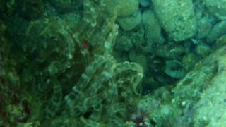 Trumpet anemone - Aiptasia mutabilis