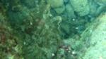 anemone bruno - Aiptasia mutabilis - intotheblue.it