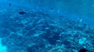 Pesce Sergente - Abudefduf sexfasciatus