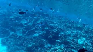 Pesce Sergente