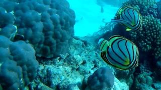 Pesce Farfalla di Meyer