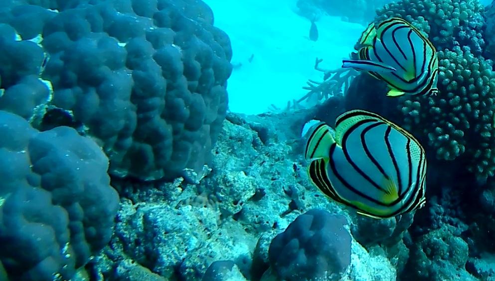Scrawled Butterflyfish Pesce Farfalla di Meyer intotheblue.it