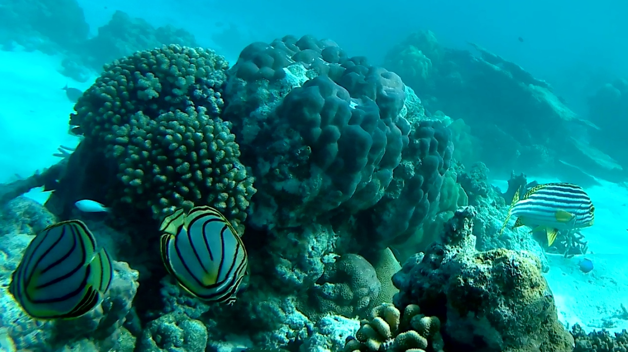 Scrawled Butterflyfish intotheblue.it