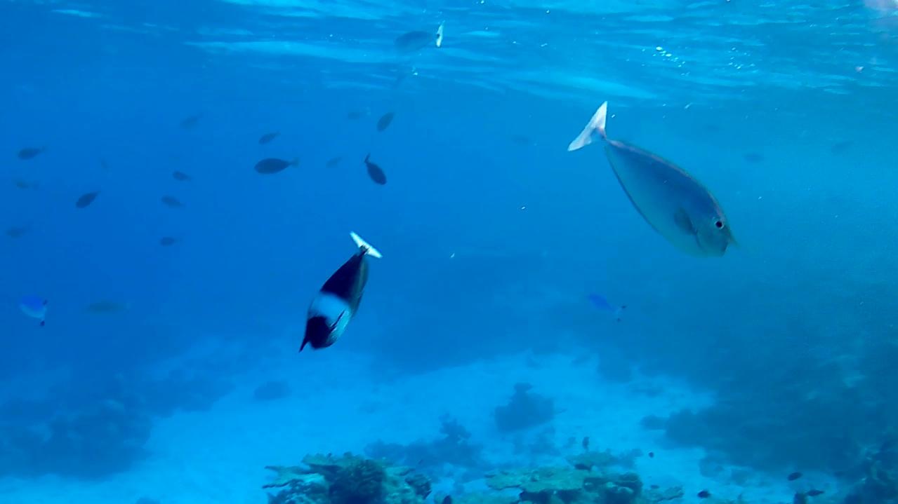 Unicornfishes Pesce unicorno Acanthuridae - intotheblue.it