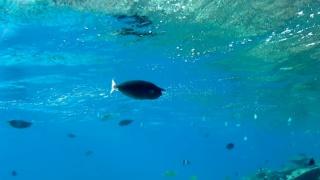 TheShort-nosed Unicornfish