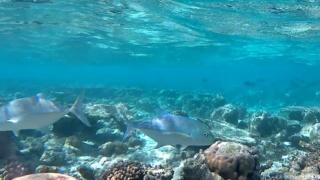 Carango Pinna Blu - Caranx Melampygus