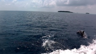 Felidhoo Dolphins in the Maldives