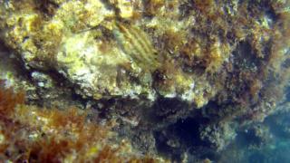 Five-spotted wrasse - Symphodus roissali