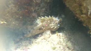 Scorfano Nero, Black scorpionfish, Redfish Black, Scorpaena Porcus, intotheblue.it