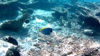 Il Pesce Chirurgo Blu