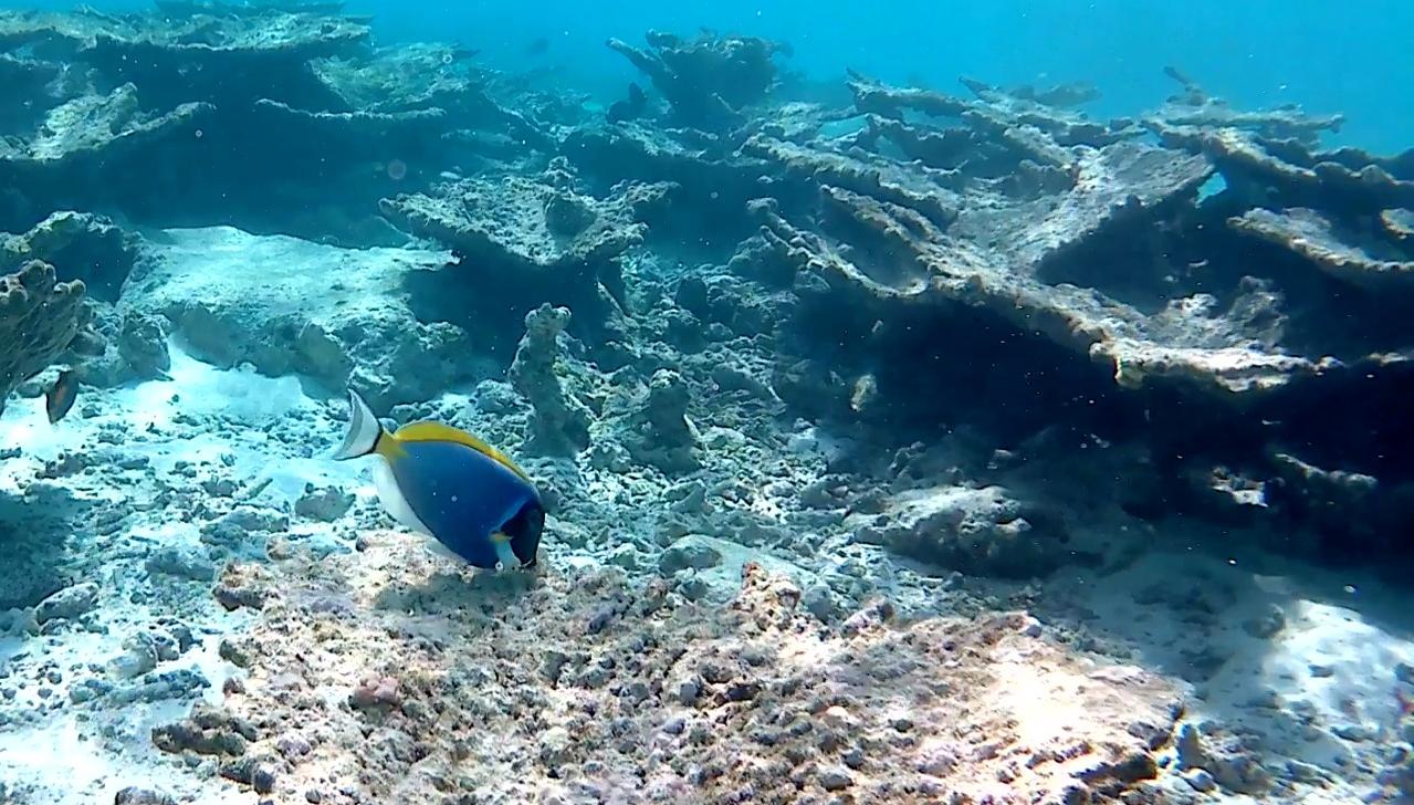 Pesce Chirurgo Blu - Paracanthurus hepatus - intotheblue.it