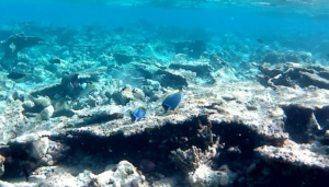 Pesce Chirurgo Blu - Paracanthurus hepatus