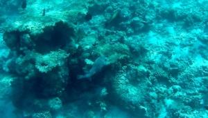 Porcupinefish - Diodon hystrix