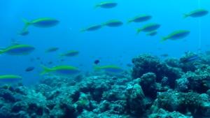 Pesce Fuciliere Pinna Gialla - Caesio xanthonota