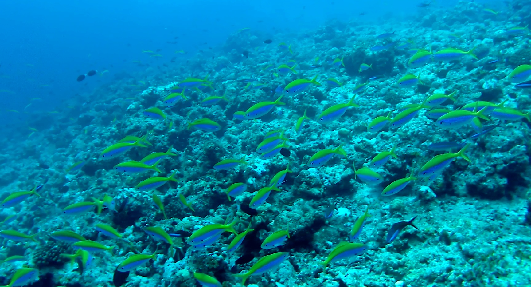 Pesce Fuciliere di yellowback intotheblue.it