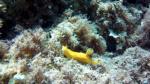 Doride giallo - Baptodoris cinnabarina