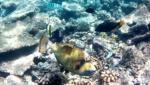 Pesce Balestra Titano - Balistoides viridescens