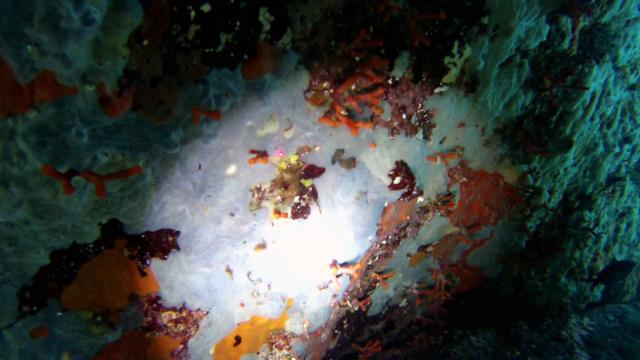 Falso Corallo - Myriapora Truncata - intotheblue.it