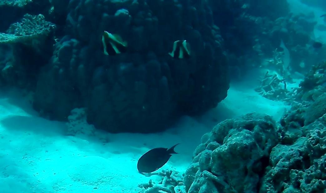 Pesce Farfalla Indiano - Indian Butterflyfish