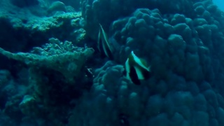 Indian Butterflyfish