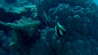 Pesce Farfalla Indiano