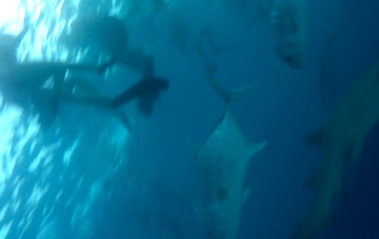 squali alle maldive intotheblue.it