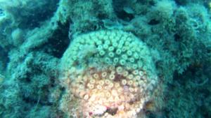 Cladocora Caespitosa - Madrepora - intotheblue.it