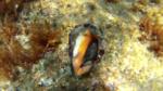 Murice Hexaplex trunculus intotheblue.it