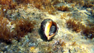 Red-mouthed rock shell - Muricidae - Stramonita haemastoma
