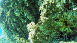 Black Damselfish - Chromis Chromis