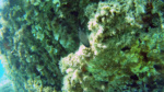 Chromis chromis