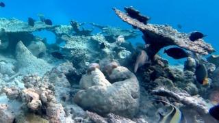 Table Coral - Acropora pulchra