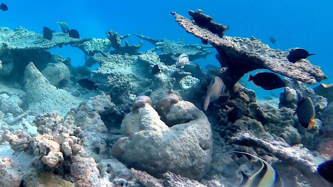Acropora pulchra - table coral