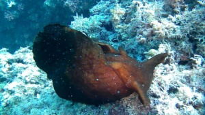 Sea hare - Aplysia depilans