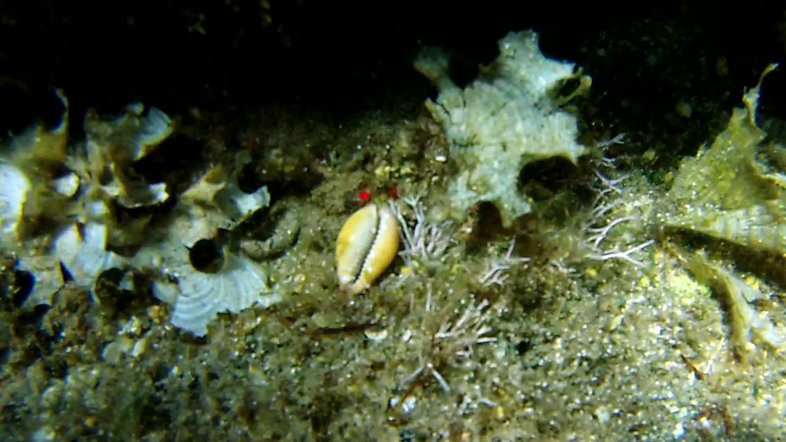 Luria lurida Ciprea Mediterranea intotheblue.it