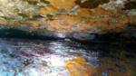 Granchio zampe gialle - Percnon gibbesi