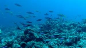 Pesci Fucilieri - Caesionidae