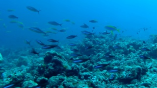Fusiliers fishes - Caesionidae