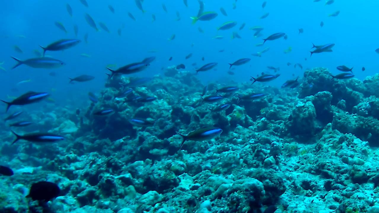 I pesci Fucilieri - the Fusilier - the Caesio fish